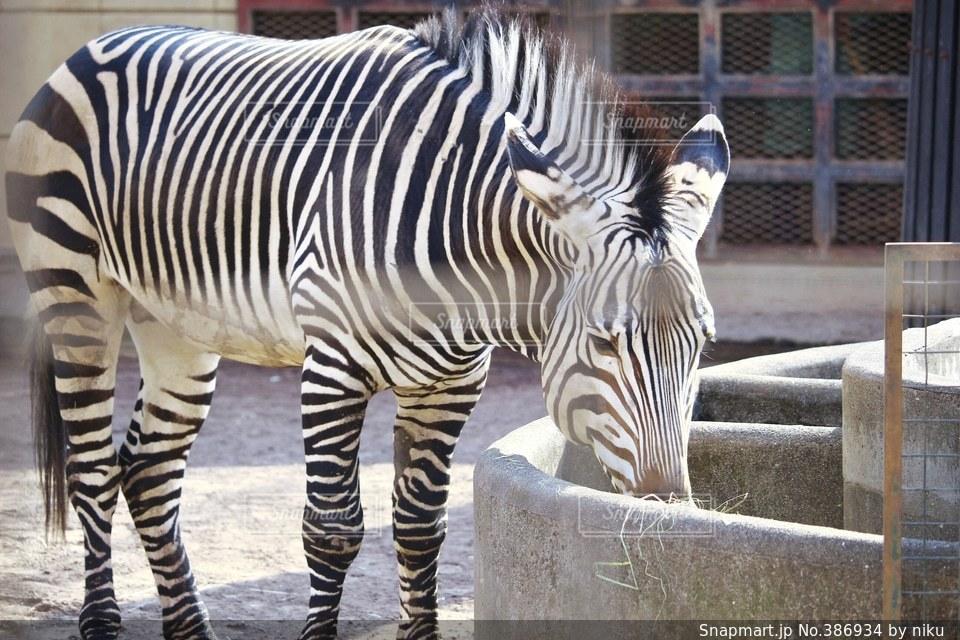 動物,食事,野生動物,白黒,草,馬,動物園,餌,哺乳類,エサ,しまうま,うま,ゼブラ,シマウマ,えさ,草食,ウマ