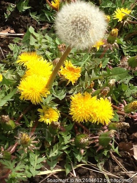 庭の黄色い花の写真・画像素材[2684612]