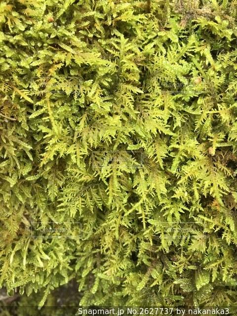 緑豊かな苔の写真・画像素材[2627737]