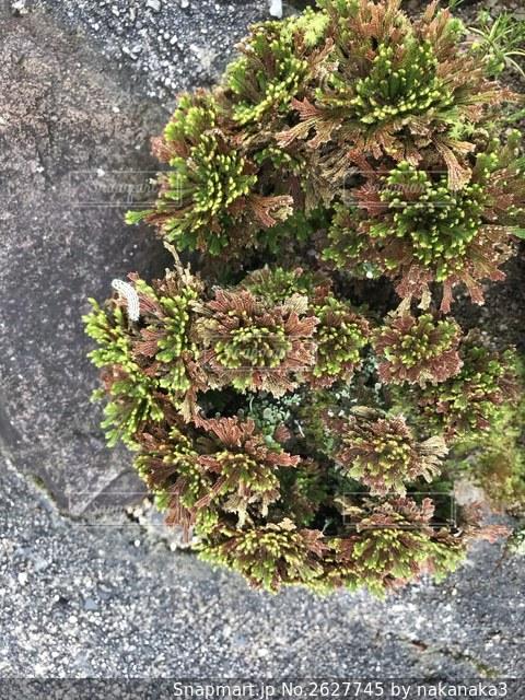 珍しい苔に居合わせた虫の写真・画像素材[2627745]