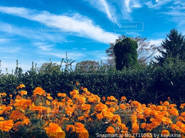 マリーゴールドと空の写真・画像素材[2710565]
