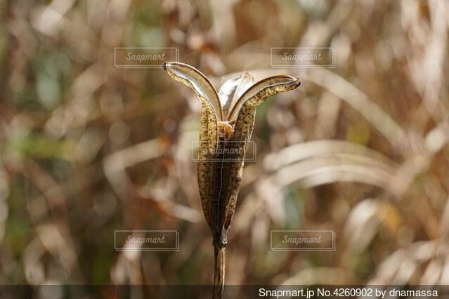 タカサゴユリの種の写真・画像素材[4260902]