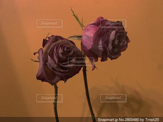 薔薇は枯れゆく過程が1番美しいの写真・画像素材[2800480]
