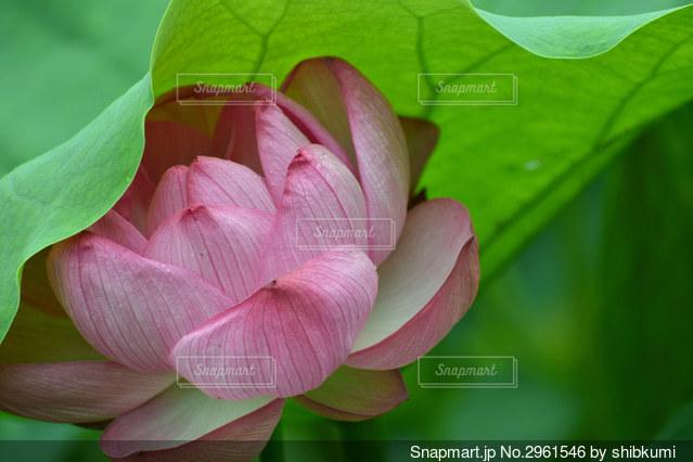 恥じらうハスの花の写真・画像素材[2961546]