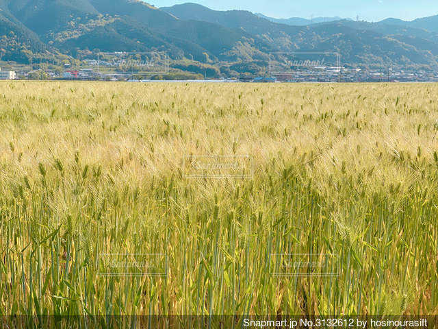 麦畑の写真・画像素材[3132612]