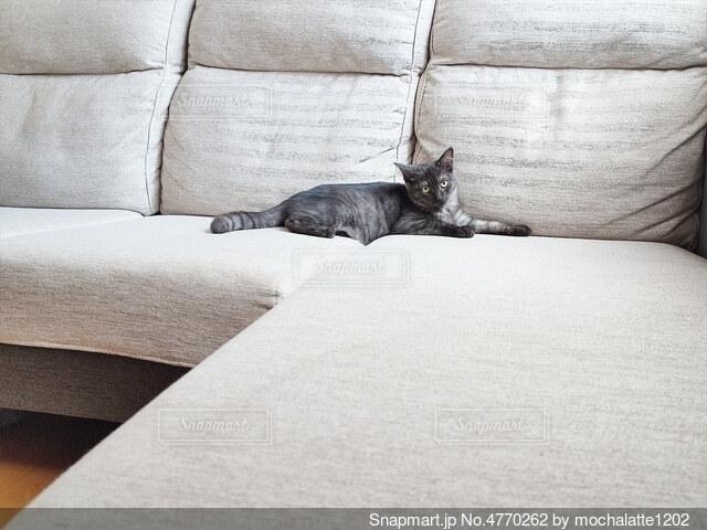 ソファに横たわる猫の写真・画像素材[4770262]