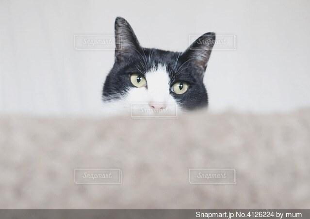 ひょっこり猫の写真・画像素材[4126224]