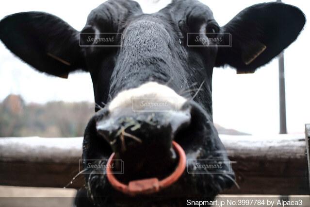変顔の牛の写真・画像素材[3997784]