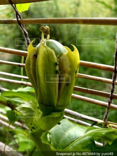 パッションフルーツの果実の写真・画像素材[4874444]