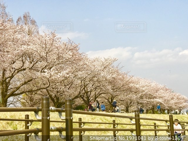 多摩川堤防の桜並木の写真・画像素材[1971041]