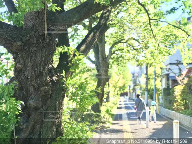 新緑の木々から差し込む日差しが気持ち良い歩道の写真・画像素材[3116954]
