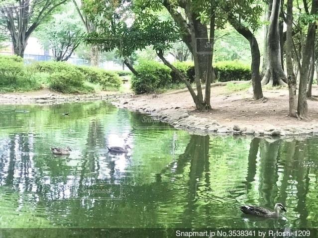 公園の池を泳ぐ鴨の写真・画像素材[3538341]