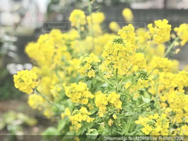 春 菜の花の写真・画像素材[4259865]
