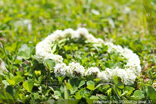 シロツメグサの花かんむりの写真・画像素材[3130094]