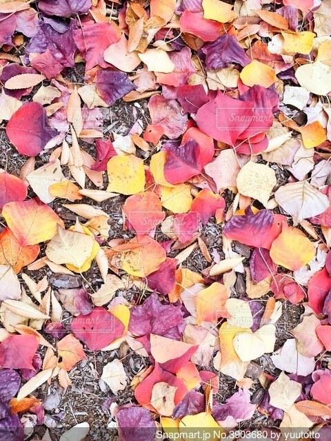 色とりどりのたくさんの落ち葉の写真・画像素材[3903680]