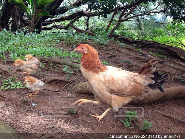 鶏親子の写真・画像素材[3240110]