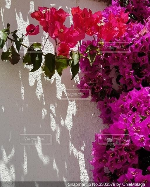 白壁にブーゲンビリアの写真・画像素材[3303578]