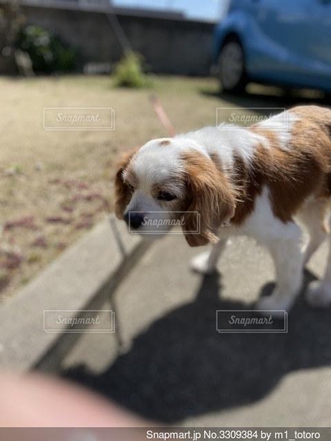茶色と白の犬の写真・画像素材[3309384]