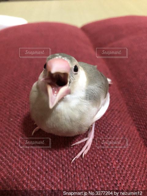 文鳥さん威嚇の写真・画像素材[3377204]