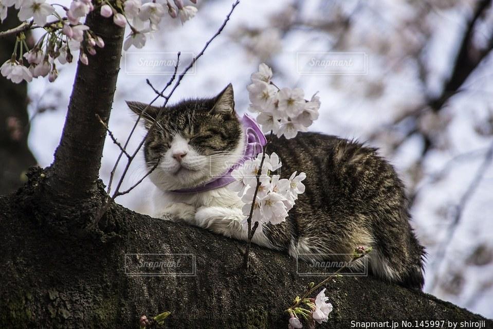 猫,桜,上野公園の写真素材