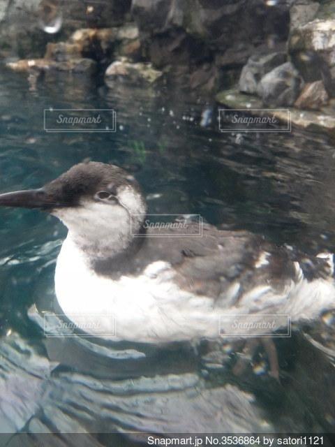 水面を泳ぐ水鳥の写真・画像素材[3536864]