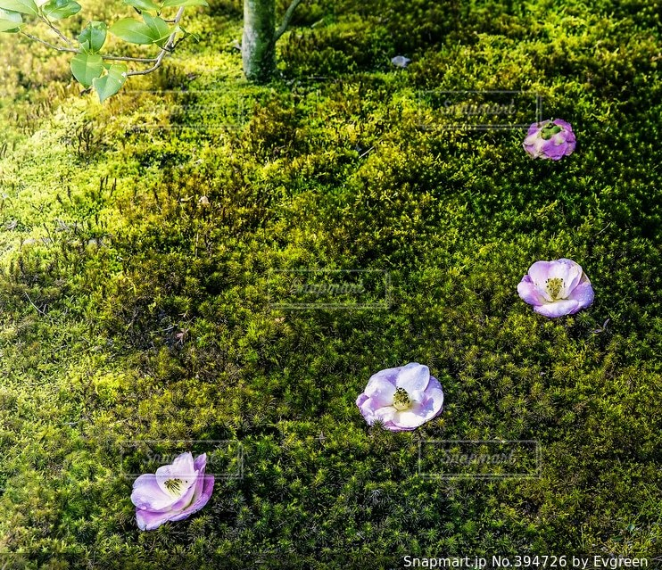 花,冬,ピンク,緑,椿