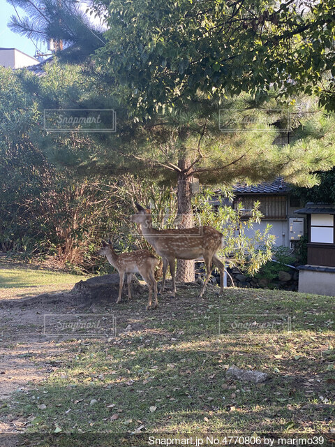 親子の鹿さんの写真・画像素材[4770806]