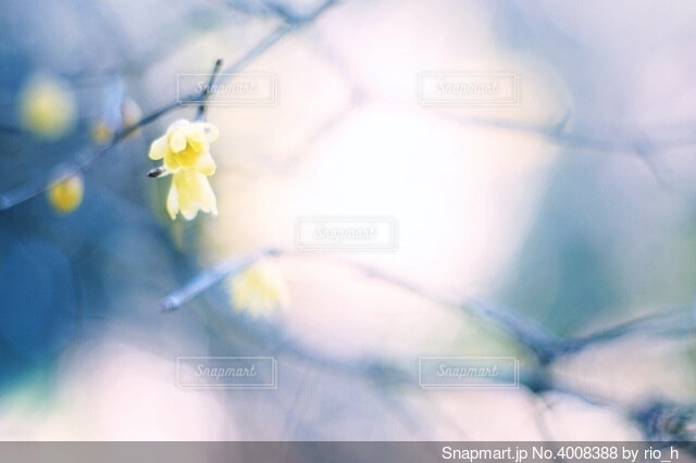 蝋梅の写真・画像素材[4008388]