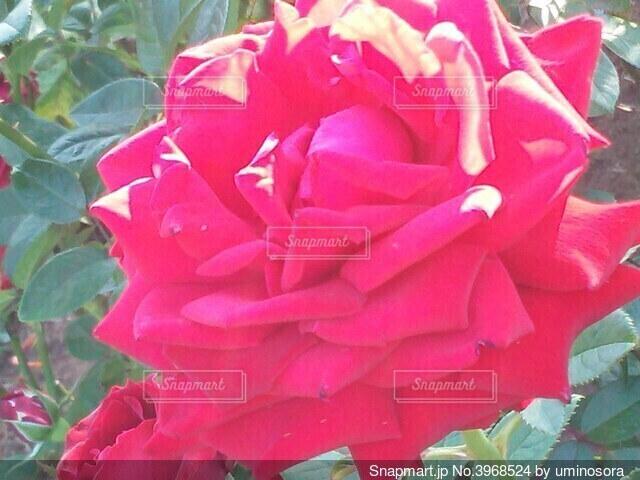 光輝くゴージャスで大輪の赤い薔薇の写真・画像素材[3968524]