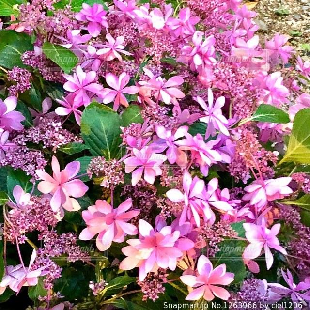 庭に紫の花の束の写真・画像素材[1263966]