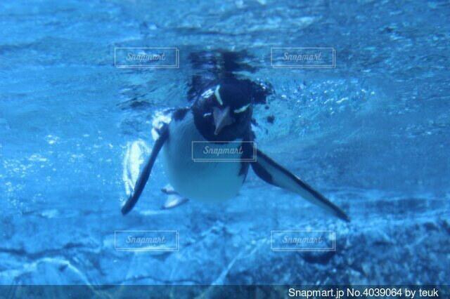 泳ぐペンギンの正面の写真・画像素材[4039064]