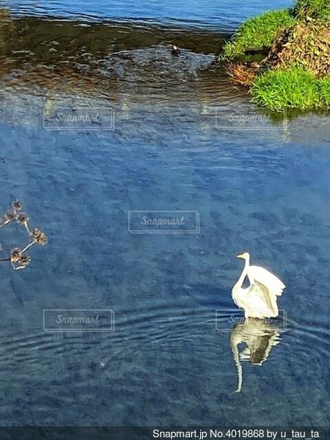 水面に映る白鷺の羽ばたきの写真・画像素材[4019868]