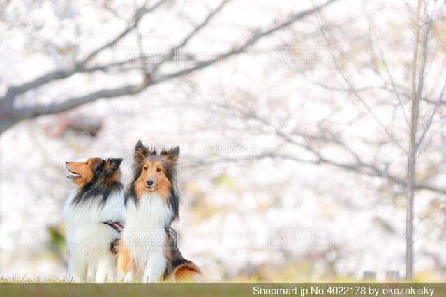 桜とシェルティの写真・画像素材[4022178]