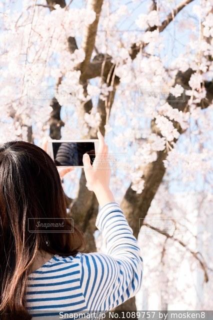 さくらを撮るの写真・画像素材[1089757]