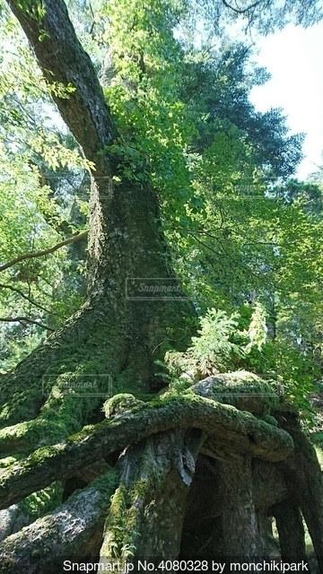 苔むす大根の写真・画像素材[4080328]