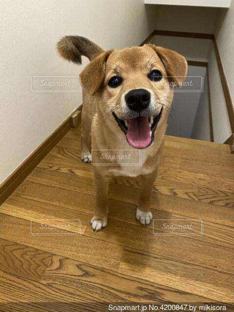 柴ビー MIX犬 柴 ビーグル 子犬の写真・画像素材[4200847]