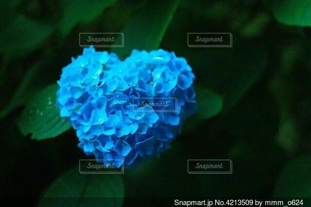 ハートの紫陽花の写真・画像素材[4213509]