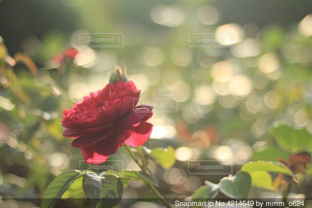 赤い薔薇と緑の写真・画像素材[4214649]