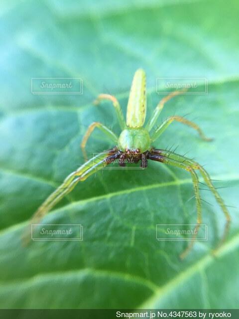 葉っぱの上の緑色の蜘蛛の写真・画像素材[4347563]
