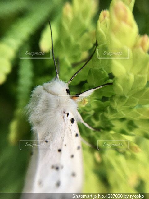羽化したての白い蛾の写真・画像素材[4387030]