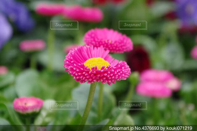 ピンクのデイジーの写真・画像素材[4376693]