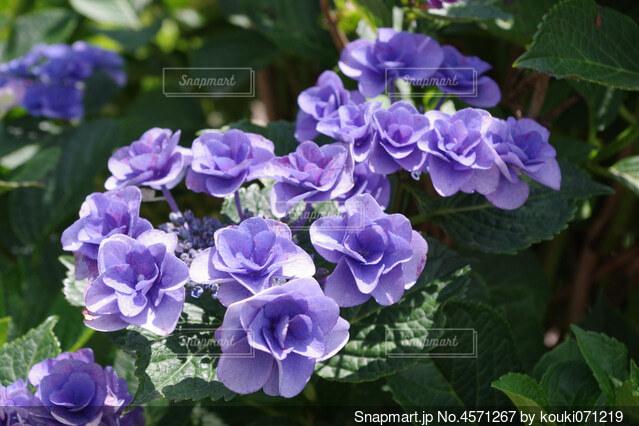 バラの花びらのような紫陽花の写真・画像素材[4571267]