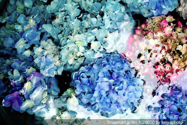 水に浮かぶ紫陽花の写真・画像素材[4428650]