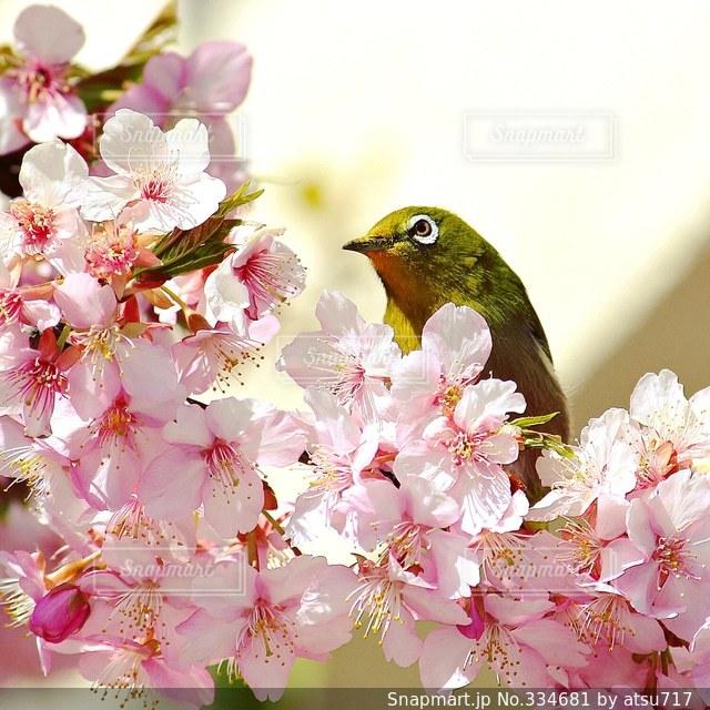 桜,メジロ