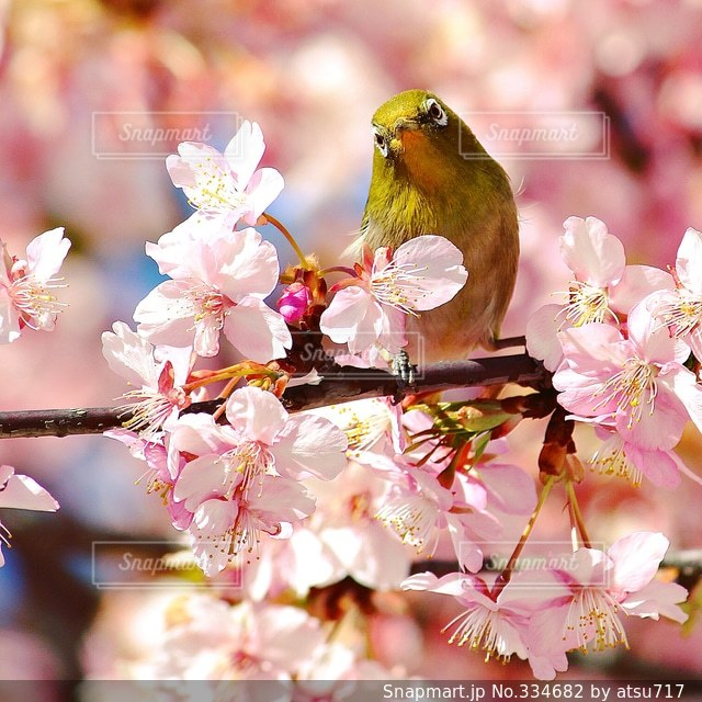 桜の写真・画像素材[334682]