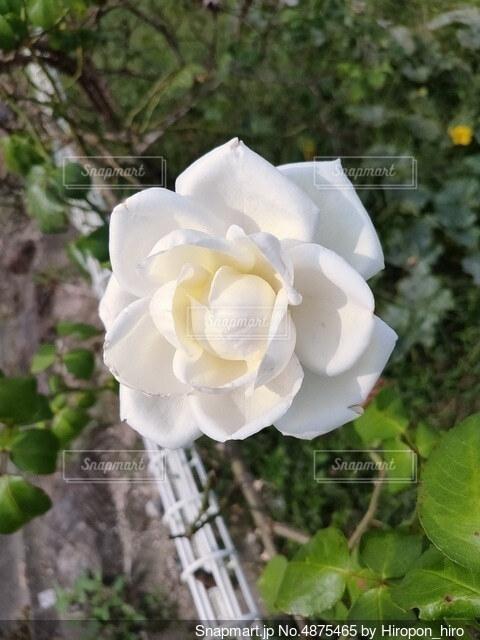 薔薇の花の写真・画像素材[4875465]