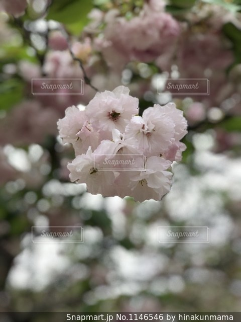 桜めぐりにての写真・画像素材[1146546]