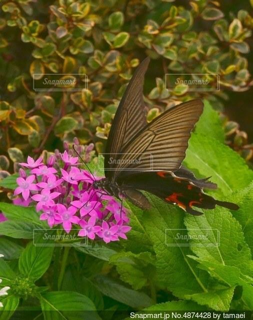 赤い花と蜜を吸うアゲハ蝶の写真・画像素材[4874428]