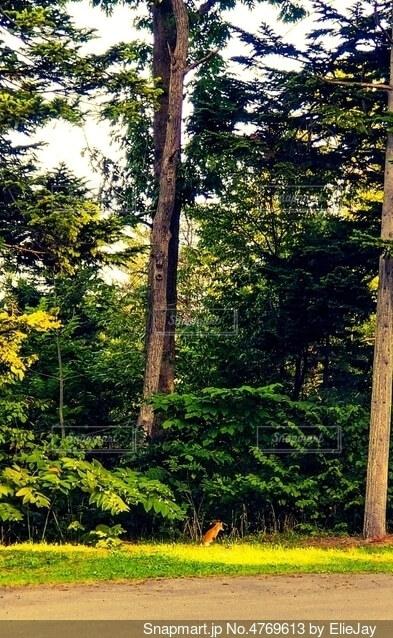 松の樹の前にいる野生のきつねの写真・画像素材[4769613]