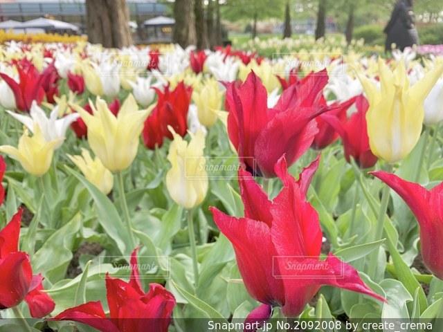 オランダ キューケンホフ公園のチューリップの写真・画像素材[2092008]